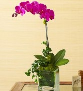 PURPLE PHALEANOPSIS PLANT in Miami, FL | THE VILLAGE FLORIST
