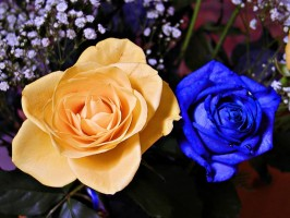 12, 18, or 24 Roses Wrapped or in Vase Orange & Blue, April 28 & 29 ONly!  Local Only!!