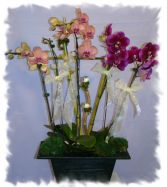 3 LITTLE BIRDS ORCHID PLANT