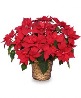 RADIANT POINSETTIA  Blooming Plant in Florence, OR | FLOWERS BY BOBBI