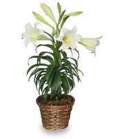 TRADITIONAL EASTER LILY Flowering Easter Plant in Olathe, KS | THE FLOWER PETALER