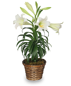 Traditional Easter Lily Flowering Easter Plant