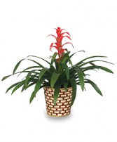 TROPICAL BROMELIAD PLANT  Guzmania lingulata major  in Zachary, LA | FLOWER POT FLORIST