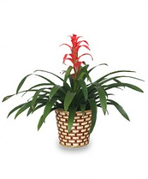 TROPICAL BROMELIAD PLANT  Guzmania lingulata major