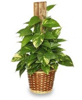 GOLDEN POTHOS PLANT  Scindaspus aureus  in Muenster, TX | LORA'S FLOWERS & GIFTS