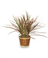 RED MARGINED DRACAENA   Dracaena marginata  in Raymore, MO | COUNTRY VIEW FLORIST LLC