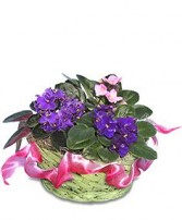 AFRICAN VIOLETS Basket of Plants in Prospect, CT | MARGOT'S FLOWERS & GIFTS