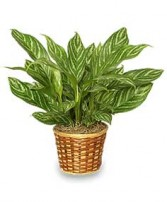 CHINESE EVERGREEN PLANT  Aglaonema commutatum  in Wynnewood, OK | WYNNEWOOD FLOWER BIN