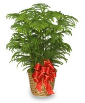 NORFOLK ISLAND PINE Holiday Plant Basket in Largo, FL | ROSE GARDEN FLOWERS & GIFTS INC.