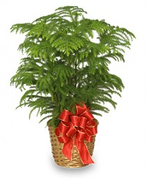 NORFOLK ISLAND PINE Holiday Plant Basket in Bryant, AR | FLOWERS & HOME OF BRYANT