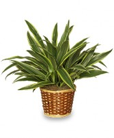 STRIPED DRACAENA PLANT  Dracaena deremensis  'Warneckei' in Dublin, GA | THE FLOWER CART FLORIST AND GIFT SHOPPE