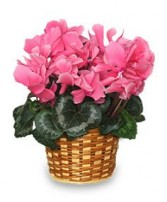 FLOWERING CYCLAMEN 6-inch Blooming Plant in Bloomfield, NY | BLOOMERS FLORAL & GIFT