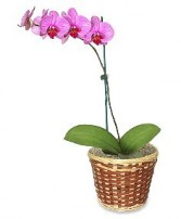 POTTED ORCHID PLANT Blooming Plant in Miami, FL | THE VILLAGE FLORIST