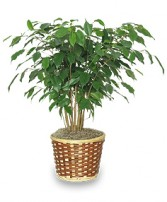 BENJAMIN FIG TREE  Ficus benjamina  in Rochester, NH | LADYBUG FLOWER SHOP, INC.