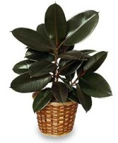 RUBBER PLANT BASKET  Ficus elastica  in Davis, CA | STRELITZIA FLOWER CO.