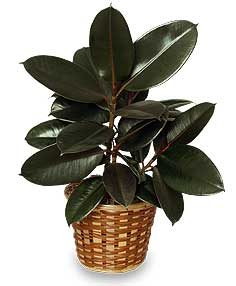 rubber plant basket ficus elastica all house plants