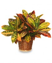 CROTON PLANT BASKET  Codiaeum variegatum pictum  in San Leandro, CA | SAN LEANDRO BANCROFT FLORIST & LYNN'S FLORAL