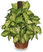 GREEN NEPTHYTIS PLANT  Syngonium podophyllum  in Saint Paul, MN | DISANTO'S FORT ROAD FLORIST
