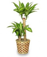 BASKET OF CORN PLANTS  Dracaena fragrans massangeana  in Olds, AB | THE LADY BUG STUDIO