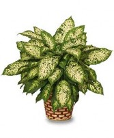 DUMB CANE PLANT  Dieffenbachia picta  in Walpole, MA | VILLAGE ARTS & FLOWERS