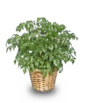CHINA DOLL ARALIA PLANT  Radermachia sinica  in Cranston, RI | ARROW FLORIST/PARK AVE. GREENHOUSES