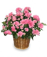 BLOOMING AZALEA PLANT  Rhododendron  hybrid in Burton, MI | BENTLEY FLORIST INC.