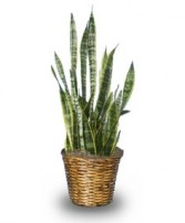 MOTHER-IN-LAW'S TONGUE  Sansevieria trifasciata laurentii  in Tallahassee, FL | HILLY FIELDS FLORIST & GIFTS