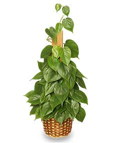 HEARTLEAF PHILODENDRON  Philodendron scandens oxycardium