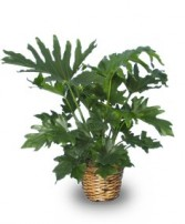 TREE PHILODENDRON  Philodendron selloum   in Florence, SC | MUMS THE WORD FLORIST