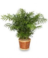 PARLOR PALM PLANT  Chamaedorea elegans  in Milton, MA | MILTON FLOWER SHOP, INC