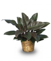 RED PRINCESS PHILODENDRON  Philodendron x 'Red Princess'  in Fairburn, GA | SHAMROCK FLORIST