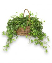 ENGLISH IVY PLANT  Hedera helix  in Shreveport, LA | WINNFIELD FLOWER SHOP