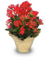 FLOWERING KALANCHOE  Kalanchoe blossfeldiana   in Hillsboro, OR | FLOWERS BY BURKHARDT'S