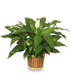 PEACE LILY PLANT    Spathiphyllum clevelandii  in Oregon, IL | MERLIN'S GREENHOUSE & FLOWERS
