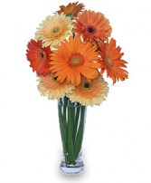 CITRUS COOLER Vase of Gerbera Daisies in Belen, NM | AMOR FLOWERS