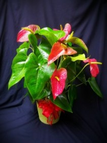 ANTHERIUM PLANT BLOOMING PLANT