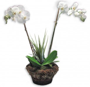 Arranged Double Orchid Plant in Basket