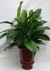 Athas52 Large Peace Lily