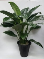 Athas53 Large Peace Lily Sensation