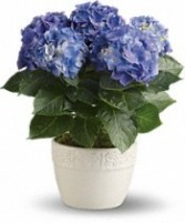 Beautiful Blue Hydrangea Plant in Bloomfield, NY | BLOOMERS FLORAL & GIFT