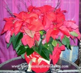 Beautiful Red Poinsettia Plant in Dallas, TX | MY OBSESSION FLOWERS & GIFTS