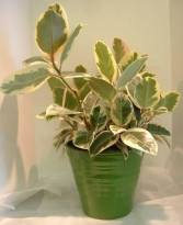 Variegated Rubber Tree Plant Green Plant in Parksville, BC | BLOSSOMS 'N SUCH