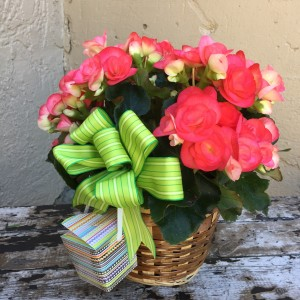 Blooming Begonia Basket Potted Blooming Palnt in Auburn, AL | AUBURN FLOWERS & GIFTS