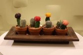 Cactus Collection potted