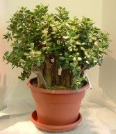Jade Plant in 12 inch pot Green Plant in Parksville, BC | BLOSSOMS 'N SUCH