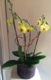 Cheerful Chartreuse Orchids Orchid