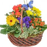 COLORAMA GARDEN BASKET in Rockville, MD | ROCKVILLE FLORIST & GIFT BASKETS