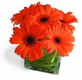 Compact arrangement of gerber daisies (Also available in other colors)