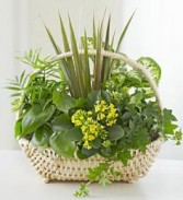 Country Basket Plants