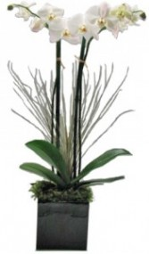 Double Orchid in Black Ceramic Cube Live Orchid Arrangement